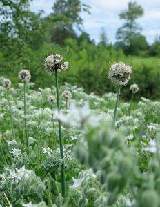 AlliumCepaPerutile-