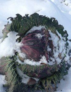 BrassicaOleraDePontoise