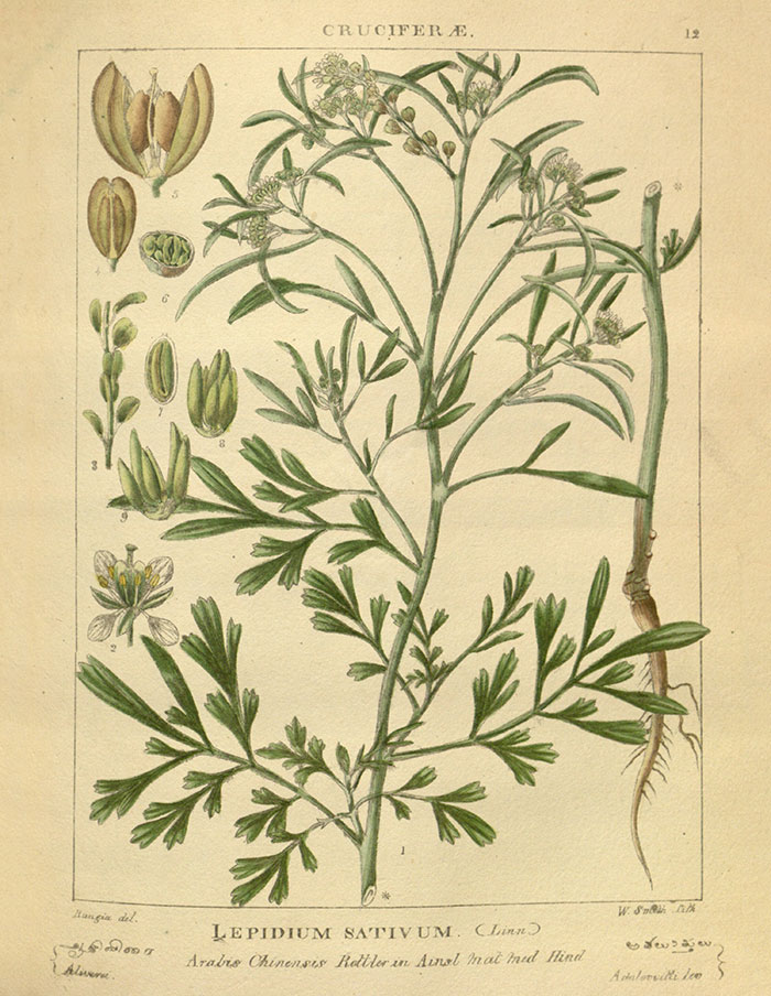 Wight, R., Illustrations of Indian botany, or figures illustrative of each of the natural orders of Indian plants, vol. 1: t. 12 (1840) [Rungia] //plantillustrations.org/illustration.php?id_illustration=45122