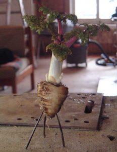 chaerophyllumbulbosum