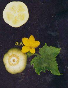 cucumissativuslemon