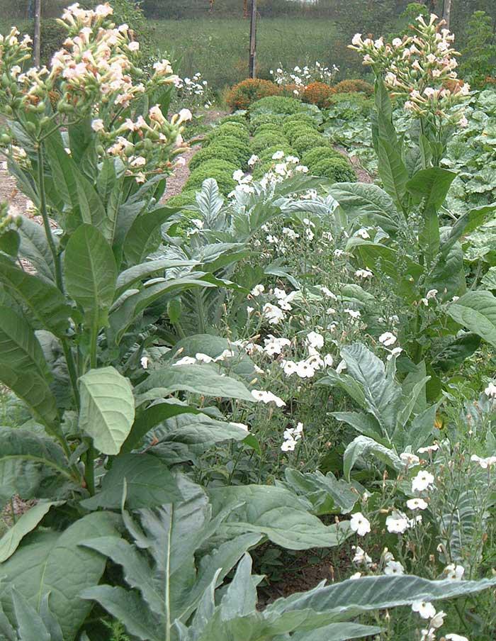 Tabac Grand Rouge Fort La Societe Des Plantes