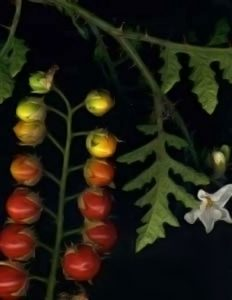 SolanumSisymbrifolium1