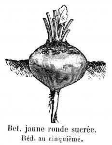Par Inconnu — Vilmorin-Andrieux & Cie, 1904. Les plantes potagères. Description et culture des principaux légumes des climats tempérés. ed. 3. Paris, Vilmorin-Andrieux. fig., XX-804 p., Domaine public, https://commons.wikimedia.org/w/index.php?curid=20427883