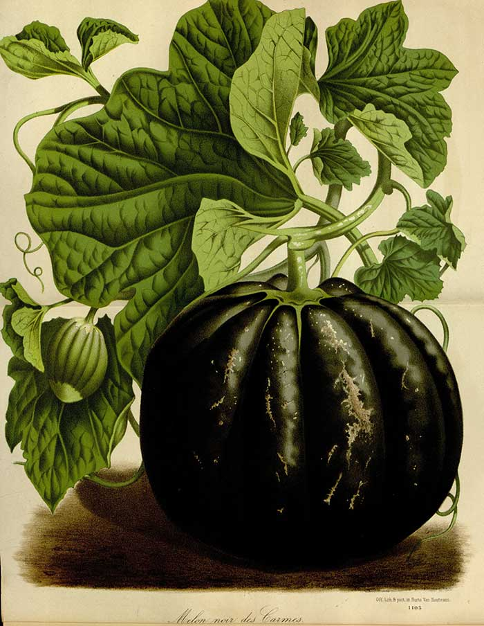 Houtte, L. van, Flore des serres et des jardin de l'Europe, vol. 21: t. 2178-2179 (1845) http://plantillustrations.org/illustration.php?id_illustration=147783