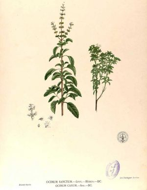 Par Francisco Manuel Blanco (O.S.A.) — Flora de Filipinas [...] Gran edicion [...] [Atlas II].[1], Domaine public, https://commons.wikimedia.org/w/index.php?curid=5056613